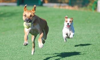 grâce au collier de dressage des chiens courent détachés