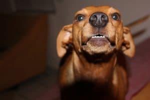 chien agressif qui grogne sur son maître
