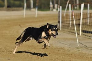 chien en pleine course