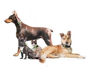 des chiens avec un gps autour du cou