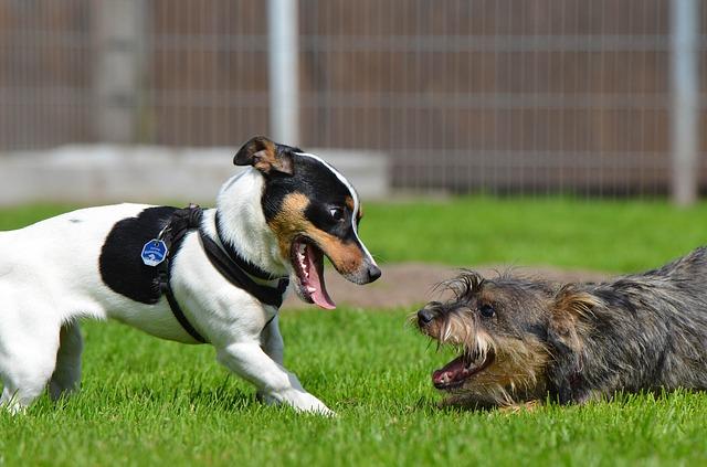 Deux chiens jouent à se mordiller