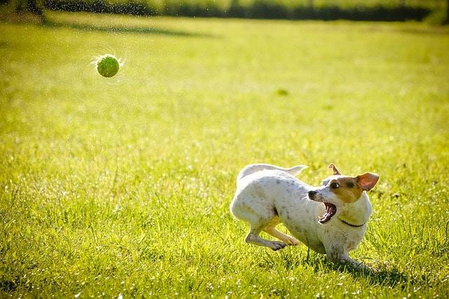 un chien en train de jouer à la baballe
