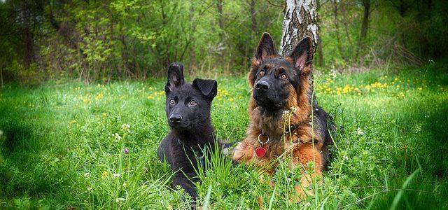 deux chiens qui ont un maître pour le collier de dressage