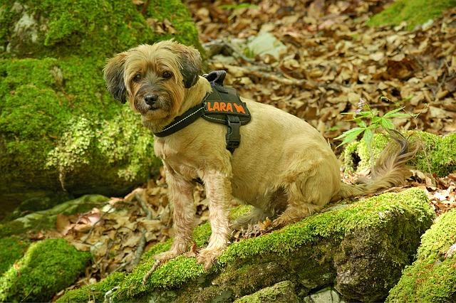 un harnais pour chien