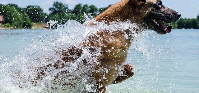 un chien dans l'eau avec collier étanche