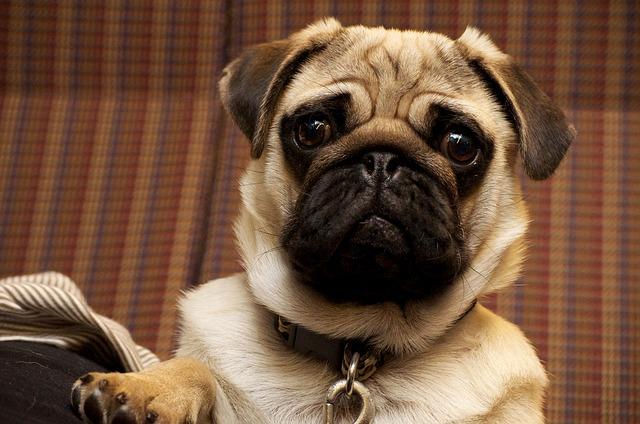 collier de dressage doit être compris par le chien