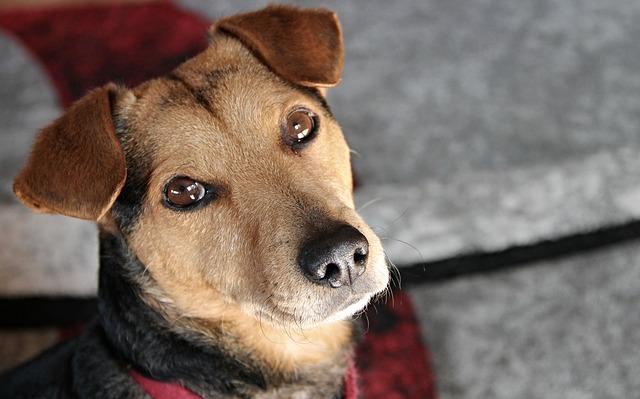 un petit chien avec un collier de dressage